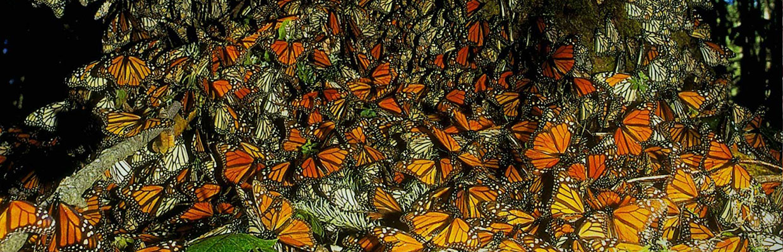 mariposa-monarca-quicktours